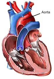 Aorta and the heart